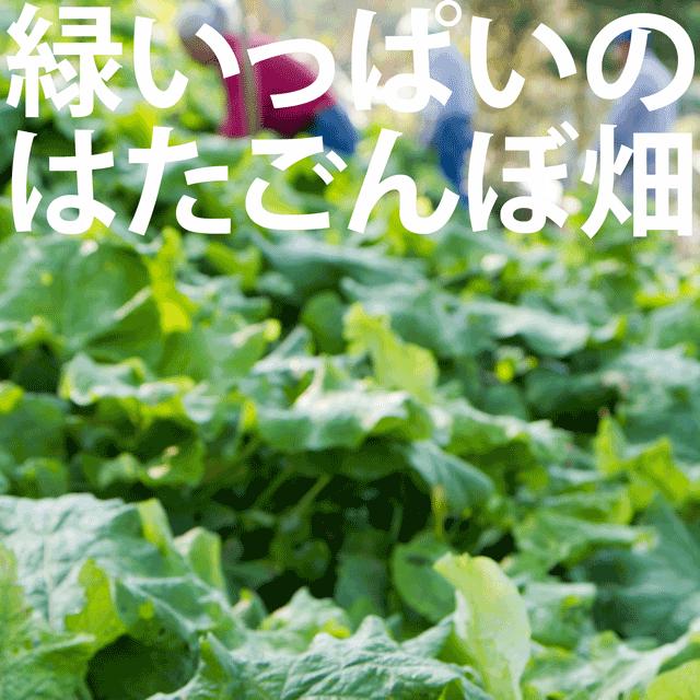 緑いっぱいのはたごんぼ畑